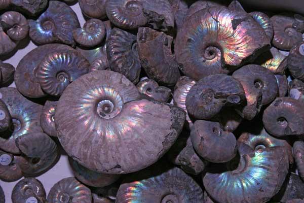 Ammoniten mit Perlmuttschale